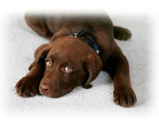 deodorizar-perro